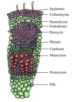 NCERT Solutions for Class 11 Biology chapter 6 Anatomy of Flowering Plant PDF Image 5