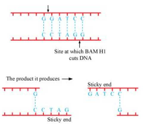 NCERT Solutions for Class 12 Biology Chapter 11 Biotechnology: Principles and Processes PDF Image 3